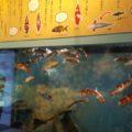 鯉がたくさん